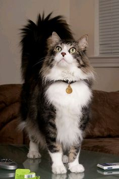 Our Leo, a Norwegian forest cat