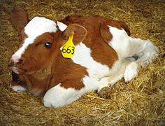 Cute lil Red & White calf!