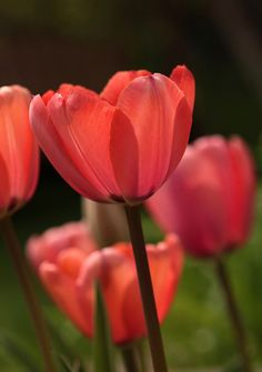 my favorite flower :) :: So nice! I love the shades of color. 2015 Color Trends, Beautiful Bouquet Of Flowers, Red Tulips, Coral Color, Colour, Beautiful World, Beautiful Things, Salmon Color, Colorful Drawings