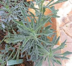 Asteraceae Senecio kleiniiformis • Succulents / Cactus • to 6 inches, hardy to 25 degrees, full sun to partial shade, yellow aster like blooms late summer through early winter, drought tolerant, good for xeriscaping