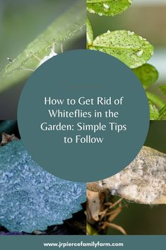 Getting rid of whiteflies in the garden can be a challenge. Follow these tips and you can eradicate them easily - and quickly. #jrpiercefamilyfarm #organicgardening #whiteflies #whiteflypestcontrol #gardenpestcontrol #gardeningtips Organic Farming, Organic Gardening, Gardening Tips, Building Raised Beds, Raised Garden Beds, Wooden Cottage, Farm Projects, Family Resorts, Raising Chickens
