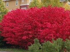 the Burning bush is dark green in summer & bright red in fall. Easy to grow with minimal care, it likes full sun to part shade. It is cold & drought hardy, disease resistant,& fast growing Trees And Shrubs, Trees To Plant, Flowering Bushes, Shade Garden, Garden Plants, Sun Plants, Live Plants, Garden Art, Outdoor Plants