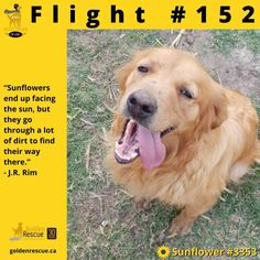We are thrilled to announce the arrival of Flight #152 and our newest Canadian! Sunflower, it's time for you to set down your roots and settle into your new life with your new family! Special thanks to all of our Golden family for your continued support, we couldn't do this without you! #RescueMissonofLove #goldenretriever #adoptdontshop #secondchance Golden Family, Roots, Adoption, Animals, Life, Foster Care Adoption, Animales, Animaux, Animal