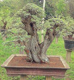 Bonsai Plants, Bonsai Garden, Bonsai Trees, Plantas Bonsai, Parks, Cactus, Ikebana, Hydroponics, Botany