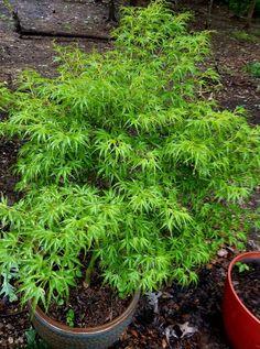 Kamagata Japanese Maple