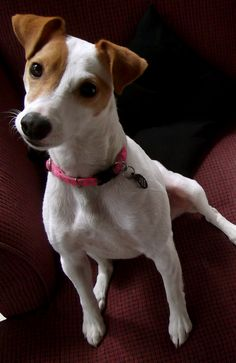 Ella, Parson Jack Russell Terrier