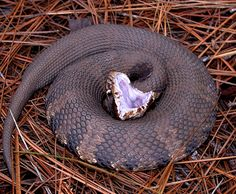 Cotton Mouth Snake - Ground Reptiles