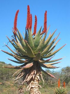 Aloe ferox in the Eastern Cape, South Africa | Flickr - Photo Sharing!