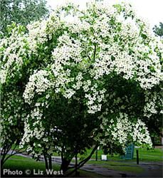 Kousa Dogwood/Japanese Dogwood Year-round beauty Unique late-blooming white flowers Purple and scarlet fall leaves Naturally deer-resistant tree: seldom severely damaged Grows 15' to 25' with 25' spread Zones 5 to 8