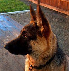 Beautiful German Shepherd! Love them! :)
