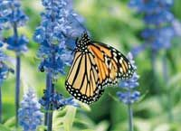 "South Dakota Flutter  ""While sitting near the South Dakota State Capitol building in Pierre, I watched tons of butterflies float around the rows of red, white and blue flowers."" -Cheryl Walberg, St. Joseph, Michigan"