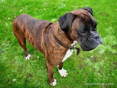 Boxer Breed | Boxer-54.jpg-from Wiki- docking of ears/tail illegal in some countries, TRAIN/SOCIALIZE EARLY, bright, energetic, playful, good with children, patient, spirited, protective, exercise to prevent boredom, use positive training methods, instinctive guardian, strong bond,service, guide, therapy dogs, colors fawn and brindle with white, 55 - 70 lbs, live 9 - 10 years
