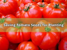 Every gardener knows that saving tomato seeds for planting them next year is a wise thing to do. It is a great way to recycle and save the very best fruits, but also to save money, which makes it a useful thing for people who are growing tomatoes themselves. The whole process of separating the seeds... - #tomato seeds #tomatoes #planting #growing #plants #drying #juice #caterpillars