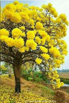 yellow mimosa tree
