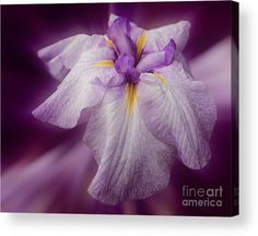 Striking lavender Japanese iris flower in full bloom acrylic print.  Available on several print formats.  Photography by Susan.