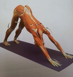 Downward Facing Dog Pose - This image is from 'Anatomy for Arm Balances and Inversions' in the 'Yoga Mat Companion' Series Physical Fitness, Yoga Fitness, Fitness Tips, Health Fitness, Ayurveda, Gaia, Mtv, Strengthen Shoulders, Upper Body Stretches