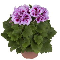 Cynthia - Franse Geranium - Regal Pelargonium -Edelgeranie - Le Pelargonium - www.fransegeranium.nl www.hendriksyoungplants.nl