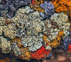 Different species of lichen