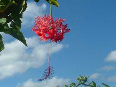 Hibiscus - Tonga K. Tonga, Hibiscus, Bees, Butterflies, Flowers, Plants, Design, Art, Art Background
