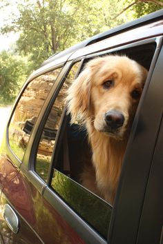 No dog can express how much they want to be with you like a Golden Retriever.