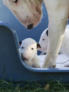 Bull Terrier momma and puppies  (I can't wait until my dog has puppies!!!)