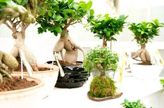 Bonsai is always a beautiful fairytale in your house. It has its own story and live its own life.