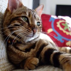 Pippa the Toyger — Sunsets with Pippa