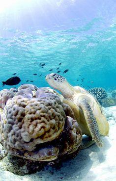 #turtle #reef #coral