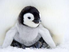 Jonge keizerpinguïn op Snow Hill Island, Antarctica Fotoprint