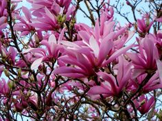 Tulip Magnolia. My home town is full of these trees and just beautiful when they are in full bloom.