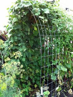 Built my first cattle panel arch trellis today! vertical gardening forum gar arch built cattle forum gar gardening panel today trellis vertical garden forum first flower! Cattle Panel Trellis, Grape Trellis, Tomato Trellis, Cattle Panels, Grape Arbor, Arbors Trellis, Cucumber Trellis, Trellis Ideas, Deck Pergola