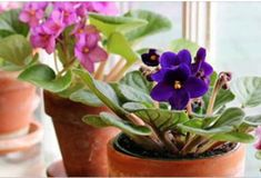 African violets have one job: To bloom! To insure a constant parade of flowers, do what I do, and give the plants everything they require: Garden Plants, Indoor Plants, House Plants, Flowering Plants, Indoor Flowers, Garden Fun, Winter Garden, Vegetable Garden, Bloom