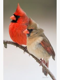 Male And Female Northern Cardinals On Pine Branch Photograph by Bonnie Barry Cardinal Birds Meaning, Cardinal Bird Tattoos, Cardinal Pictures, Bird Pictures, Animal Pictures, Photos Of Birds, Most Beautiful Birds, Pretty Birds, Small Birds
