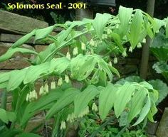 Solomon's Seal beauties for the shady yard corner. Not so much an edible as a medicinal plant--I love their elegant dancer-like arch and sweep, different from the bossy upright ferns, that i also love