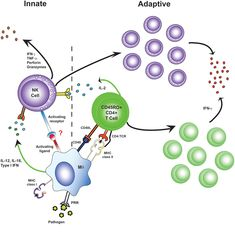 """Antigen-specific effector memory CD4+ T cells recruit NK cells as effector cells in adaptive immune responses. During 1ª infection, NK cells receive innate ++ signals from myeloid accessory cells and make very limited responses (left). Upon re-exposure to a pathogen, Ag-specific CD4+ T cells produce IL-2. Accessory cell together with this IL-2, induce an """"adaptive"""" NK cell responses, including NK cell proliferation, secretion of effector molecules, and killing of affected target cells…"""