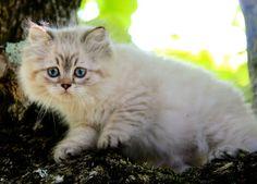 British longhair seal golden tabby point - #cat #chat #animal #babycat #kitten…
