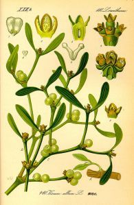 The mistletoe plant is largely known for a manufactured characteristic: It's the green sprig with white berries that hangs in doorways during Christmas time,. Illustration Blume, Botanical Illustration, Woodland Christmas, Christmas Art, Botanical Flowers, Botanical Art, Mistletoe Plant, Le Gui, Belle