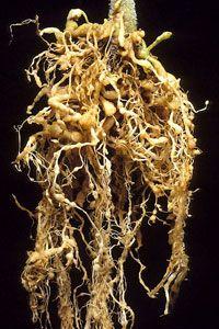 Root Knot Nematode information from Sustainable Gardening Australia website.