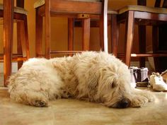 soft coated wheaten terrier puppies for sale - Google Search