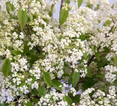 Easy care shrub with white lacy flower clusters in spring. Great fall color and bright red winter berries.
