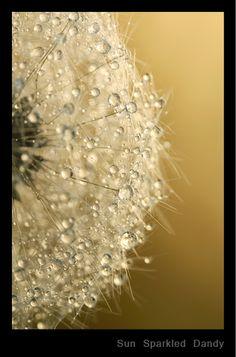 macro photography, dandelion, Sun Sparkled Dandy.jpg