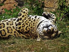 Foto gratis per sfondi desktop - Leopardo: http://wallpapic.it/animali/leopardo/wallpaper-32175