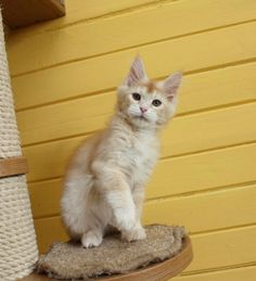 New!!!elite Maine Coon Kitten From Europe With Excellent Pedigree. In Excellent Breed Type. Male.wills in - Hoobly Classifieds