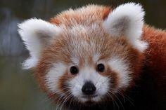 Les doux yeux du panda roux