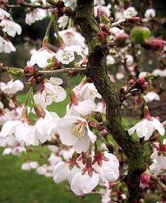 Prunus incisa 'Kojo-no-mai' - Prunus incisa - Le Jardin du Pic Vert Prunus, Blossom Trees, Garden Plants, Flora, Presentation, Spring, Land Art, Backyard Ideas, Wedding