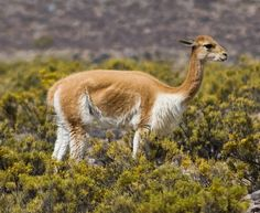 A wild ancestor to llamas and alpacas , the vicuña (Vicugna vicugna) is one of two South American camelids that has never been widely domes. Alpacas, Amphibians, Mammals, Peru, Bactrian Camel, National Animal, Animal Kingdom, Animals Beautiful, South America