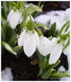 A tavasz hírnöke, a hóvirág