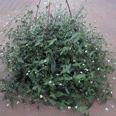 planta Gibasis pellucida - Pesquisa Google
