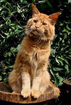 I want a big orange maine coon cat!