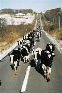 """Til the cows come home ....."""